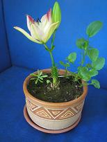 Лилия в горшке