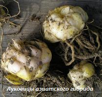 Луковицы азиатского гибрида