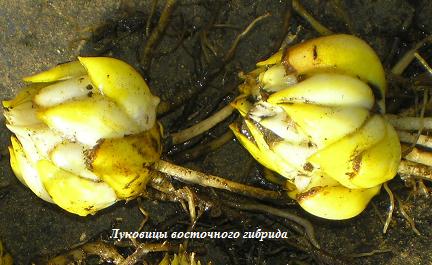 Луковицы восточного гибрида